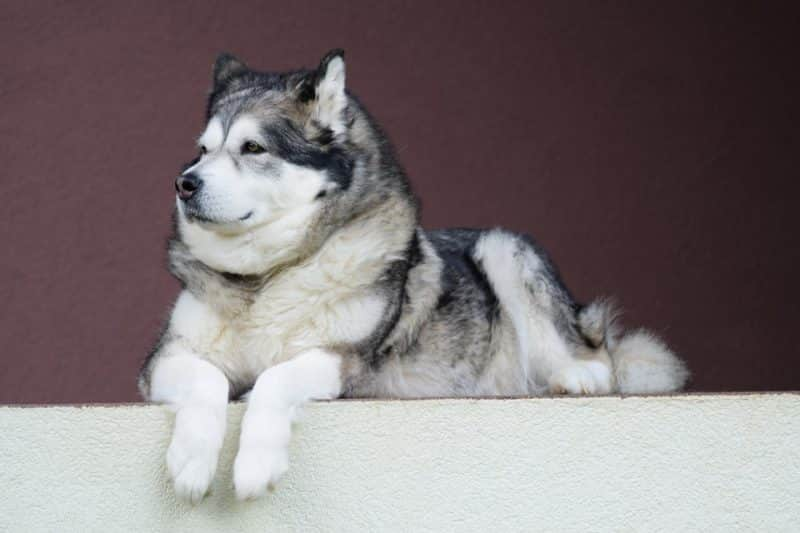 características del malamute de alaska