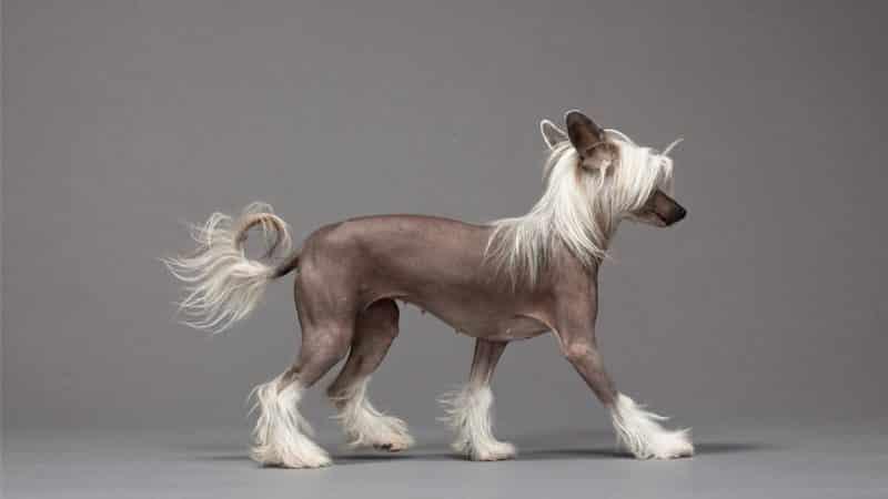 características del perro crestado chino