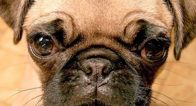 Características del Pug