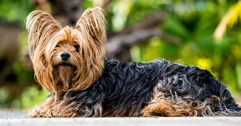 características del yorkshire terrier