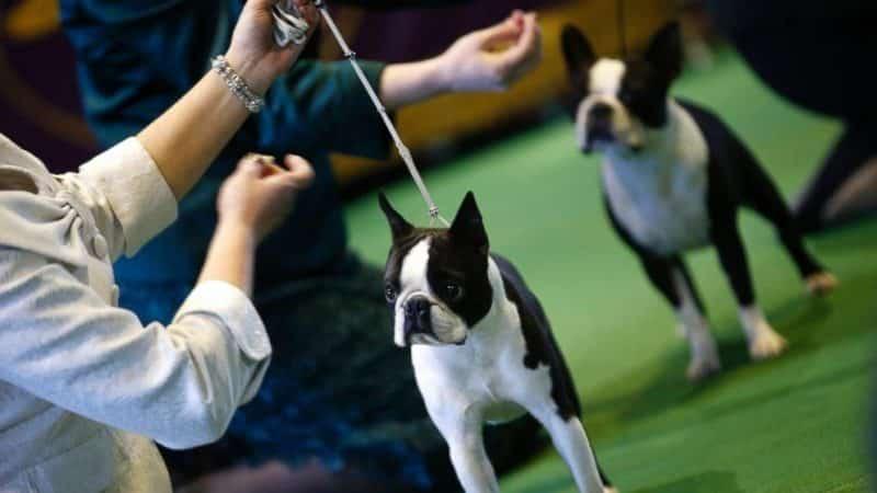 Características físicas del Boston Terrier para competencias