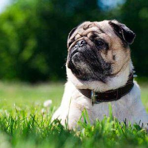 Todo sobre los perros Pug, Carlino o Doguillo: Tipos, cuidados, temperamento, esperanza de vida y mucha más información