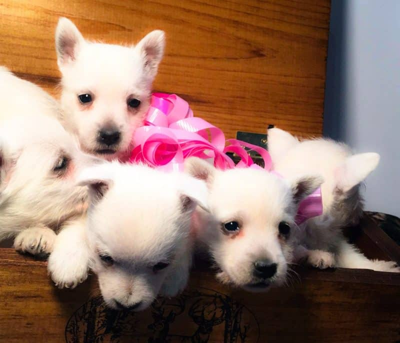 cinco cachorros west highland white terrier
