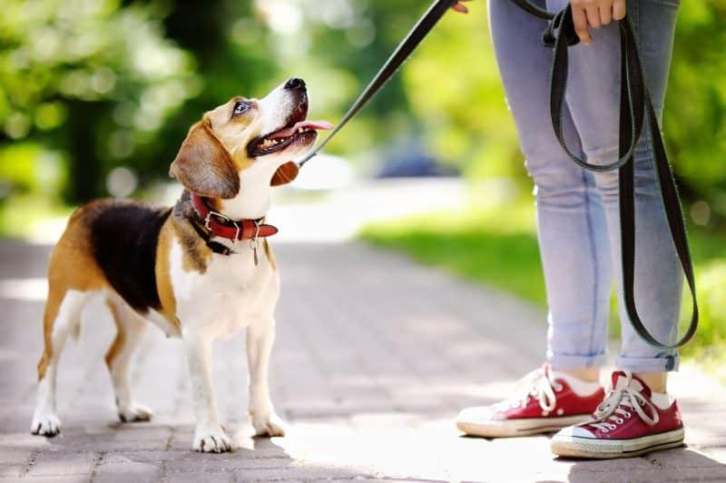 como adiestrar a un beagle