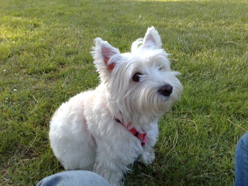 como adiestrar a un west highland white terrier