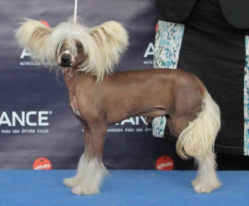 como adiestrar perro crestado chino