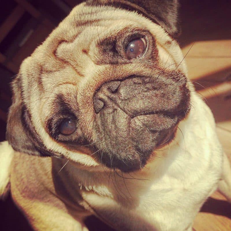 conmovedora imagen de un Pug