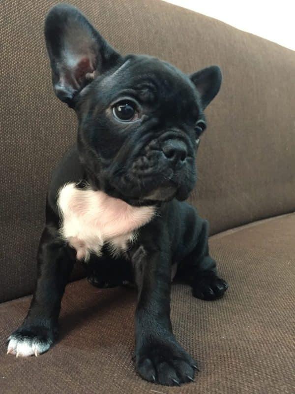 consejos a la hora de comprar un buen cachorro de bulldog frances