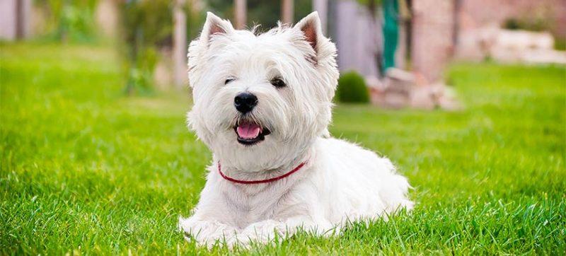 consejos para comprar un west highland white terrier
