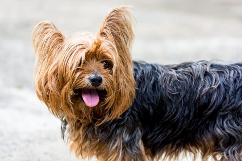 consejos para comprar un yorkshire terrier