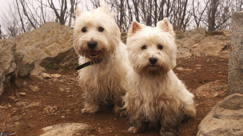 cuando cruzar a un west highland white terrier
