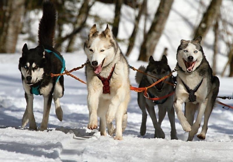 cuatro Husky Siberianos arrastrando un trineo
