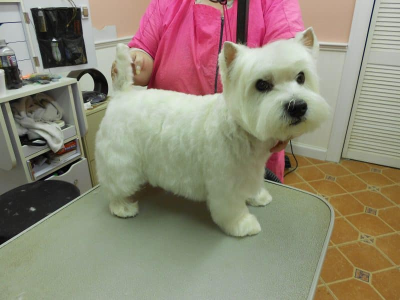 cuidados del west highland white terrier
