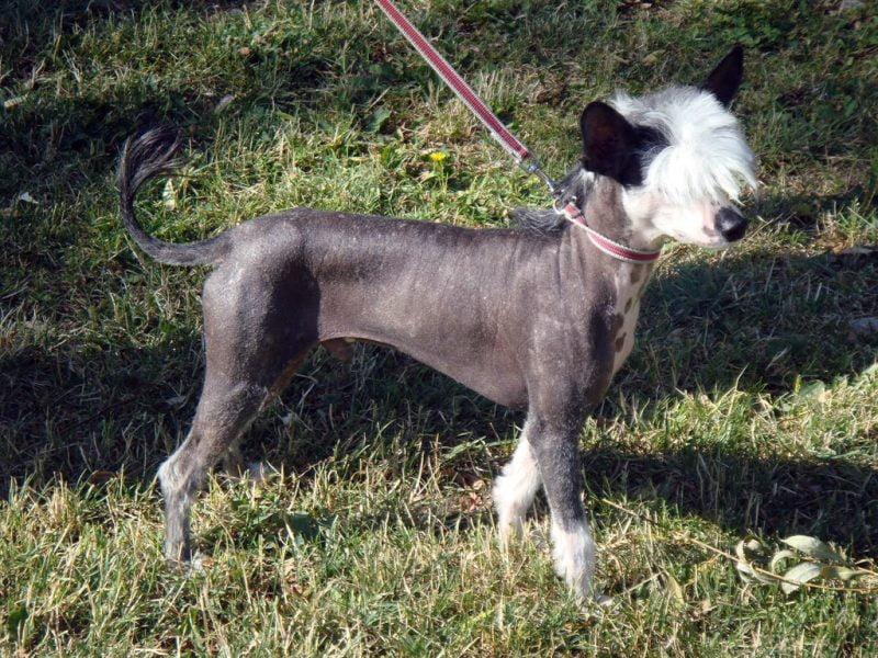 curiosidades del perro crestado chino