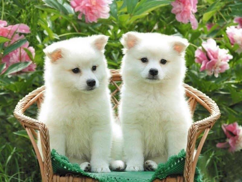 dos cachorros Akita Inu blancos