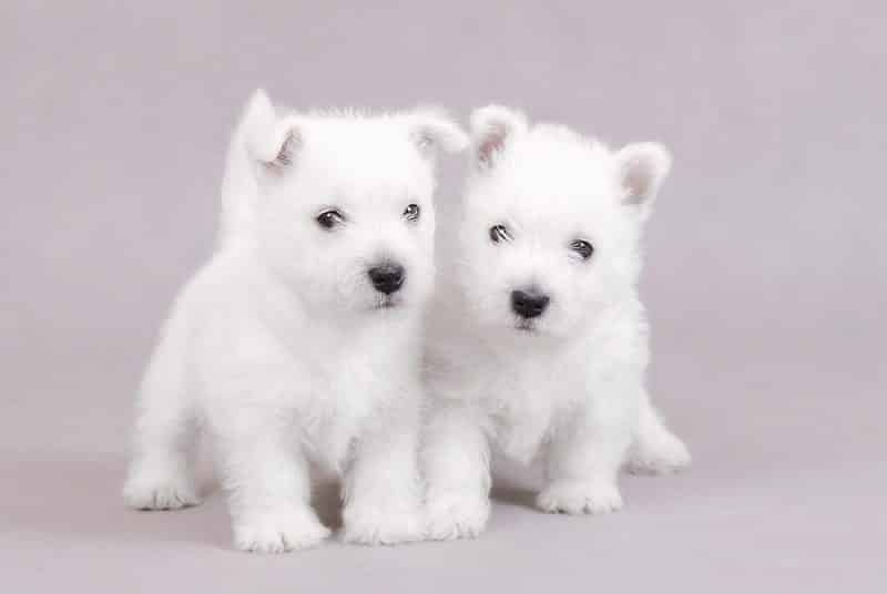 dos cachorros west highland white terrier