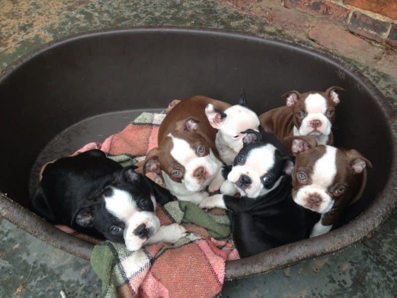 Ejemplo de variedad en la raza Boston Terrier en la imagen se ven cachorros de distinto color de una misma camada