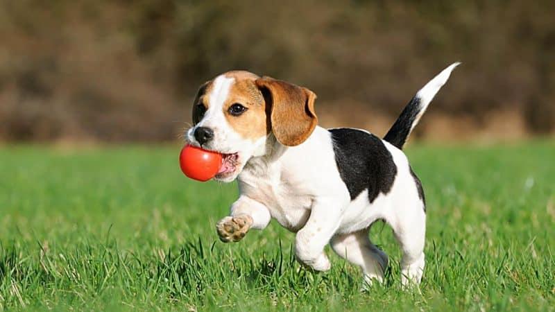ejercicios para perros Beagle