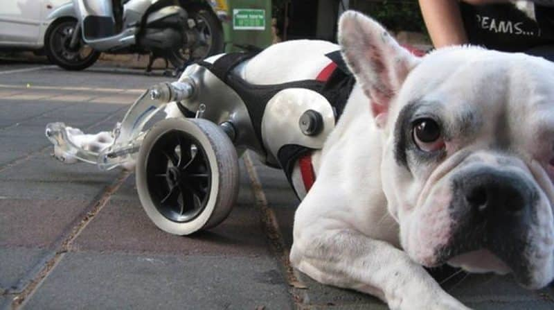 Enfermedades de tipo neurológico del Bulldog Francés