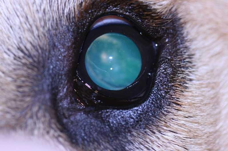 Enfermedades más comunes en los ojos del Husky Siberiano cataratas