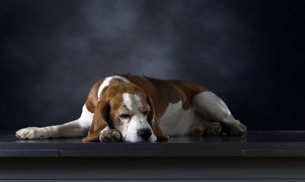 esperanza de vida de un perro beagle