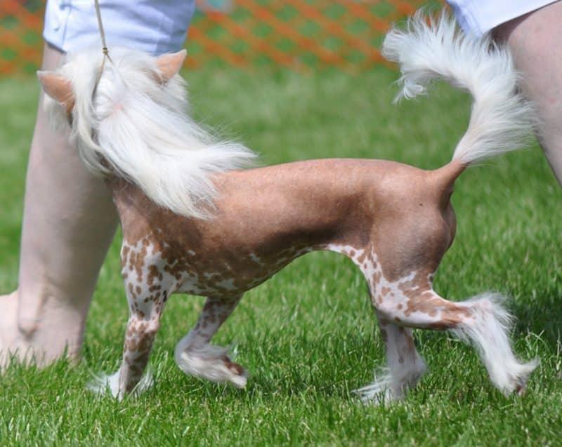 esperanza de vida perro crestado chino