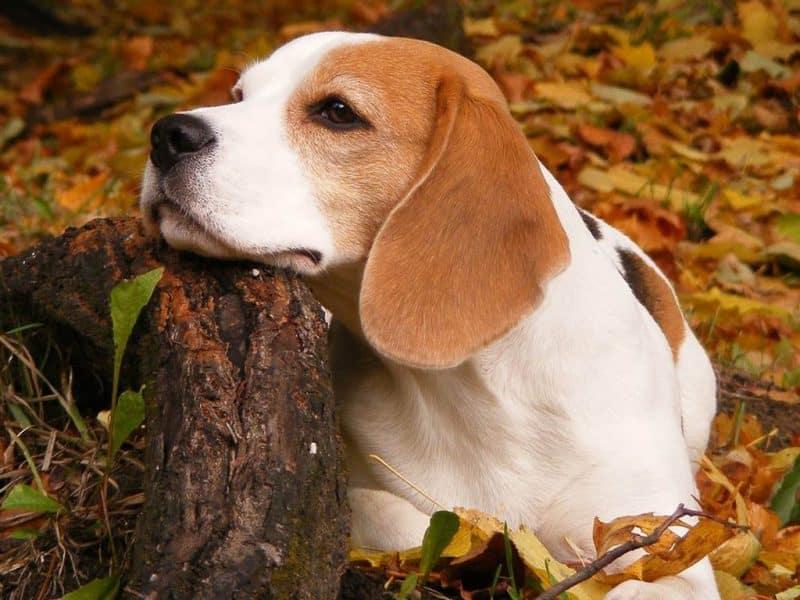 foto de perro Beagle adulto apoyando su hocico en un tronco