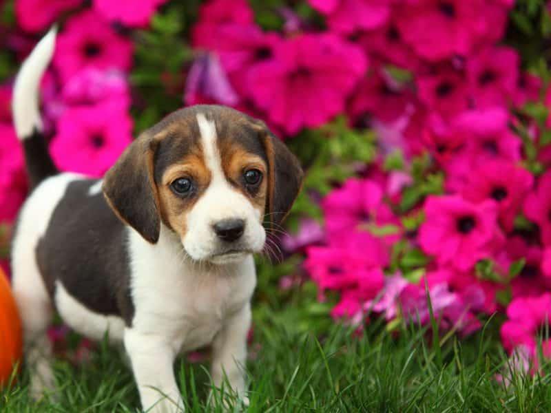foto de un cachorro Beagle frente a unas bellas flores