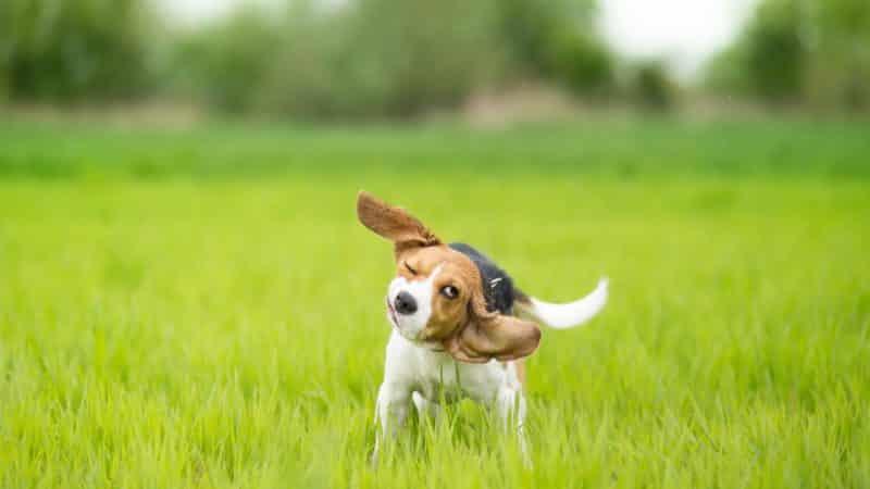 foto de un cachorro Beagle sacudiendose