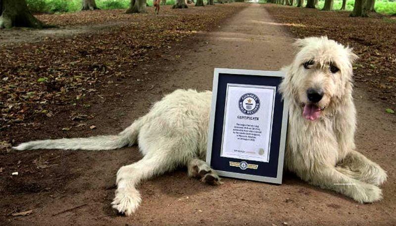foto de un lobero irlandés con su certificado de pedigrí descansando en un sendero