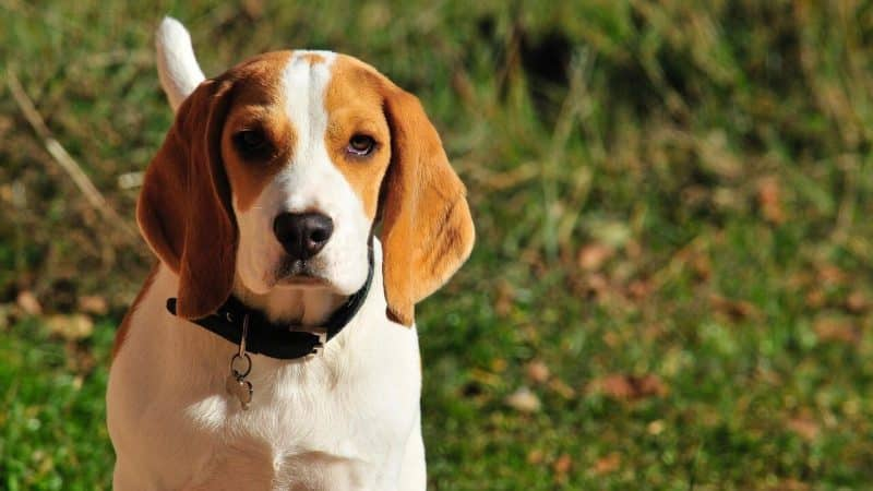 foto de un perro Beagle adulto