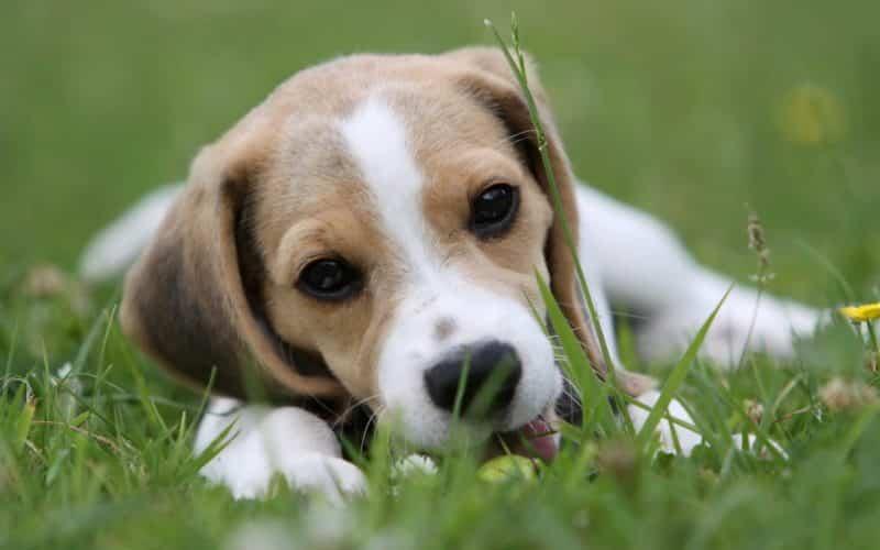 foto de un perro Beagle joven langueteando el cesped