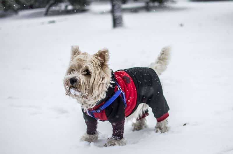 foto de un schnauzer miniatura con ropa sobre nieve