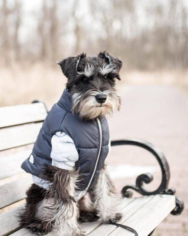 foto de un schnauzer miniatura con ropa sobre una banca de parque