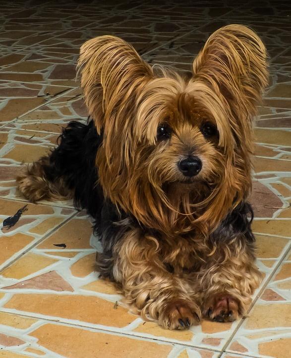 foto de un yorkshire terrier sobre piso cerámico