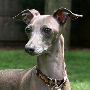 Todo sobre el Galgo Italiano (Pequeño Lebrel Italiano): Temperamento, precios, criaderos, cachorros y muchas más información