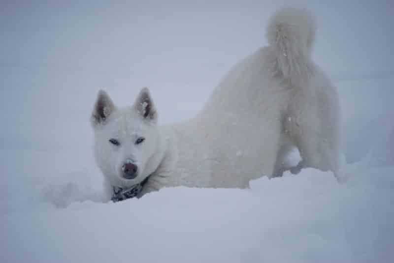 Husky Siberiano blanco cavando en la nieve