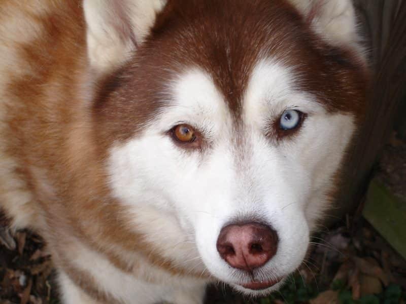 Husky Siberiano mirando hacia la cámara