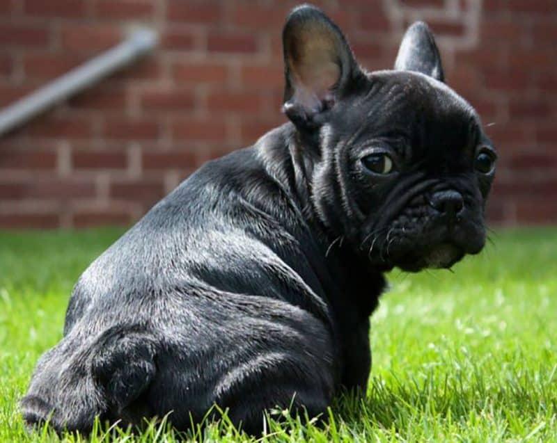 imagen de un Bulldog Frances mirando hacia atras