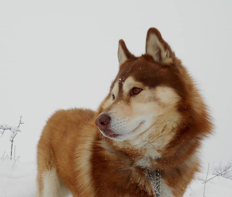 imagen de un Husky Siberiano en la nieve