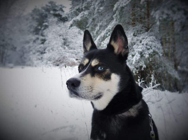 imagen de un Husky Siberiano mestizo