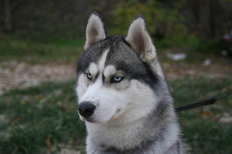 imagen de un Husky Siberiano observando algo detras de camara