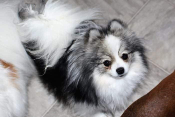 imagen de un pomerania con manto de colores similares al del husky siberiano