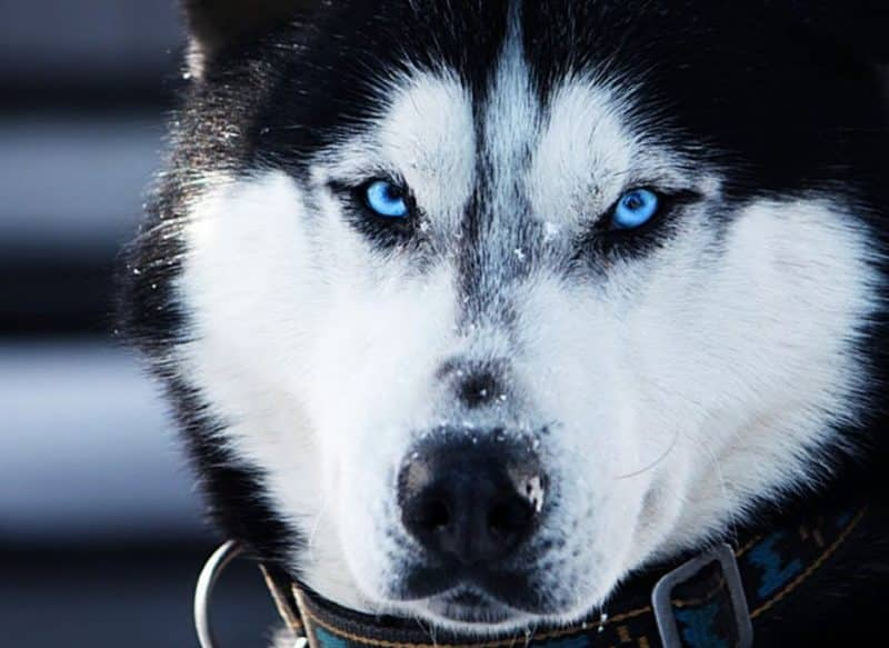 imagen del rostro de un Husky Siberiano