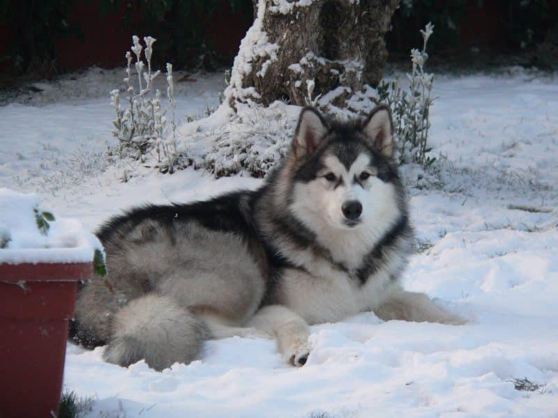 malamute de alaska descansando sobre nieve
