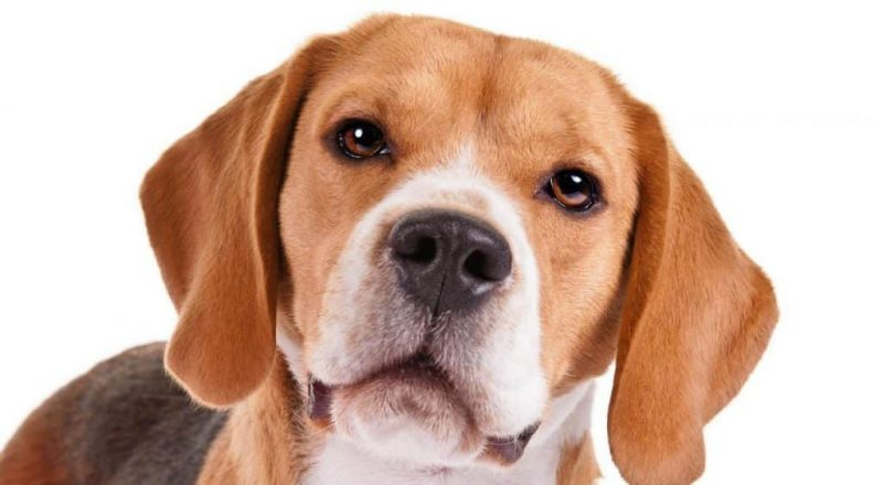 olfato del beagle
