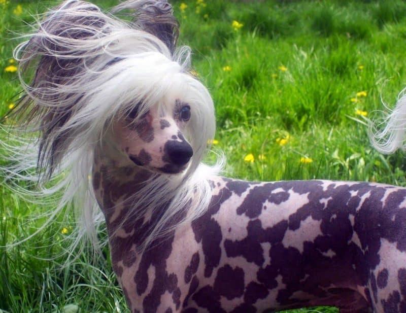 origen del perro crestado chino