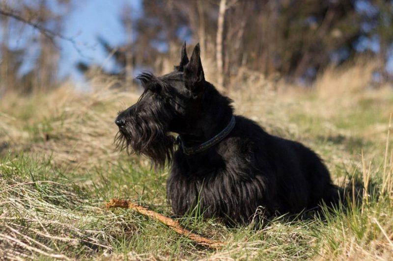 orígenes del scottish terrier