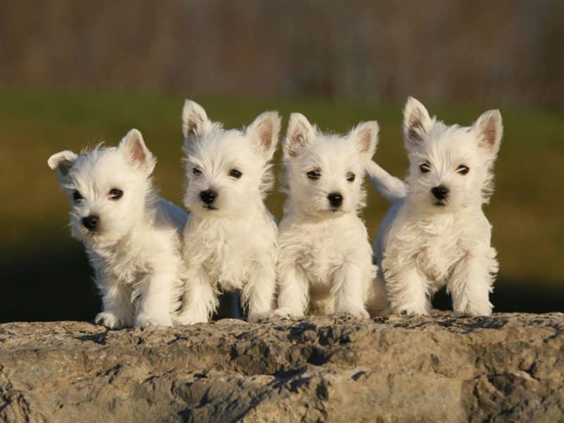 orígenes del west highland white terrier