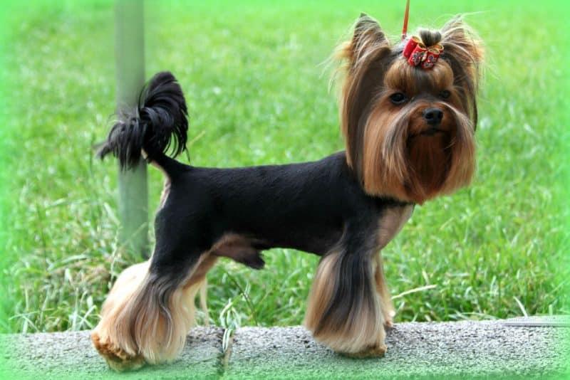 otros nombres del yorkshire terrier